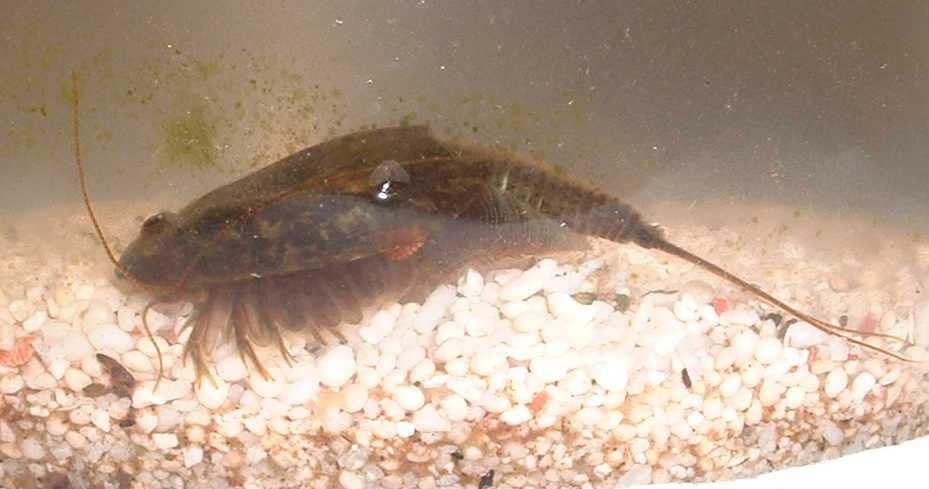 Triops cancriformis laying eggs